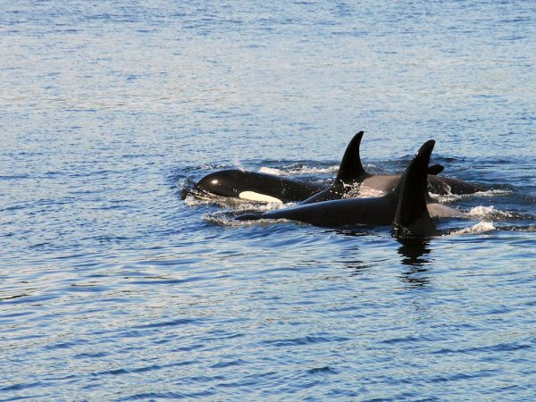 A group of four orcas swim through the water towards the left side of the frame.