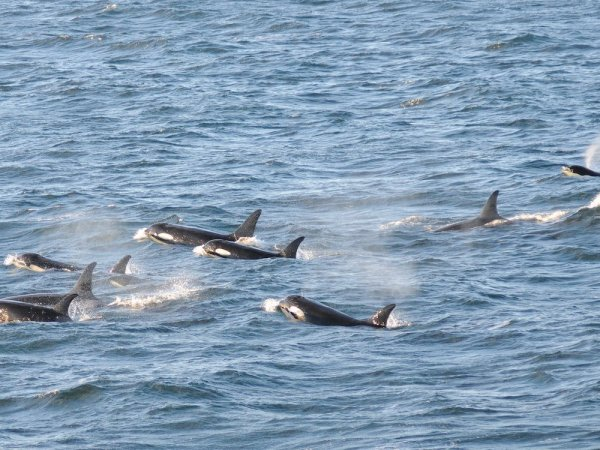 A pod of orcas swim in choppy waves. Photo by NOAA Fisheries.