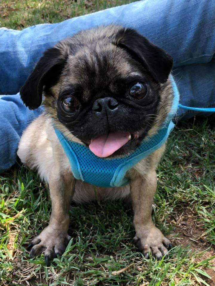 Friends Of The Rescued Pug It S A Pug Life