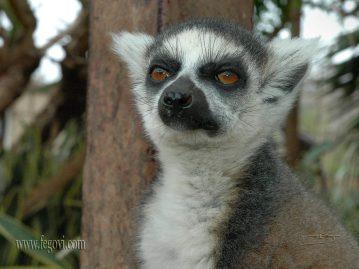 lemur_1