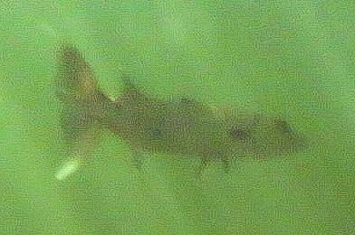 Snorkelen Key Largo - Barracuda