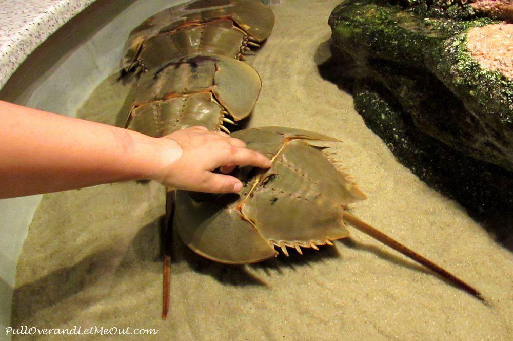 hands-on-horse-shoe-crabs