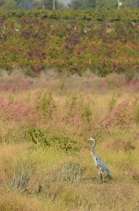 Great Blue Heron on the Heritage Oak Trail