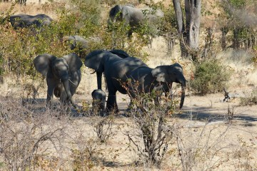 Group of elephant moms protecting a calf