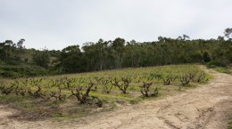Old vines at Kalmoesfontein farm