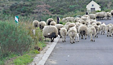 The sheep off to work