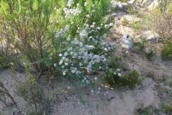 White fynbos blooming
