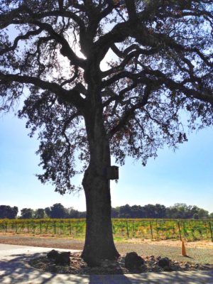 Blue Oak at Heritage Oak Vineyard