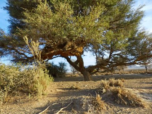 Large Sociable Weaver bird nest
