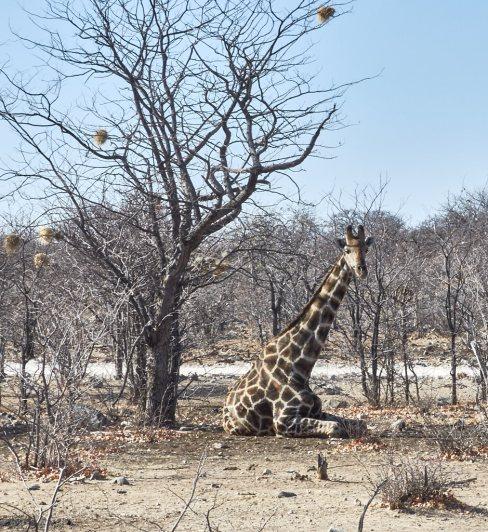Giraffe resting