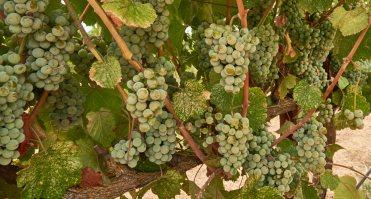 Albarino on the vine