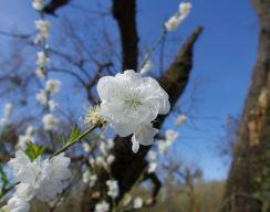Heritage Oak spring bloom