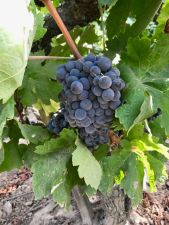 Carignane grape cluster