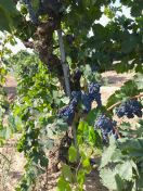 Rauser Vineyard Carignane