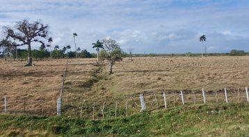 Cattle grazing 1
