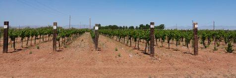 Willcox area vineyard
