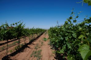 Vineyard row at Chiricahua Ranch Vineyards