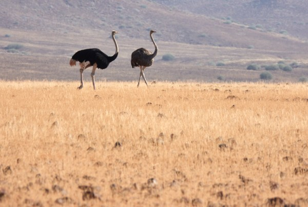 Male and female ostriches
