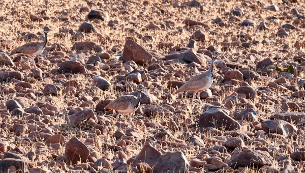 Northern Black Korhaan group