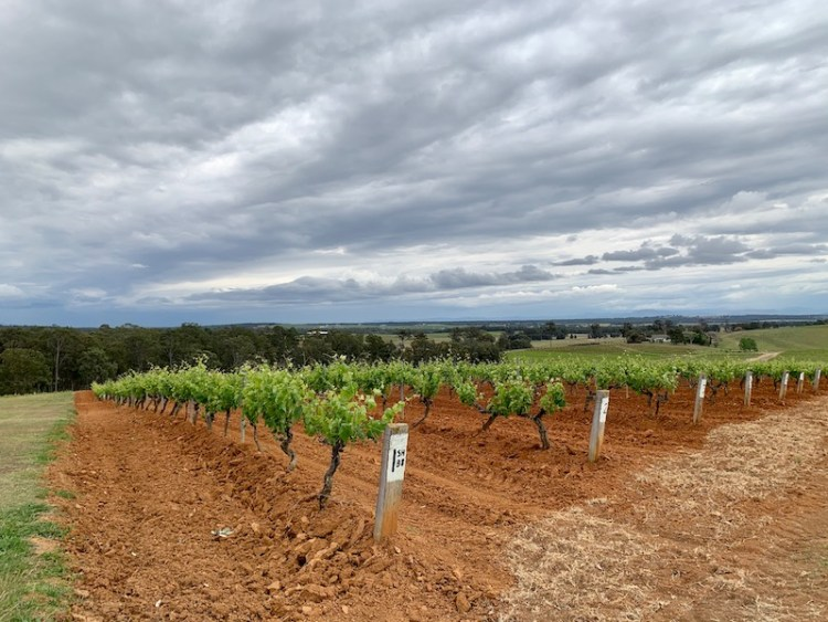 Tyrrell's Shiraz vineyard planted 1879 photo