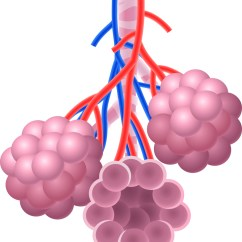 Lung Alveoli Diagram 2010 Dodge Journey Radio Wiring Ipf Patient Stem Cells Create '3-d Lungs' For Research, Therapy