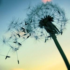 Milkweed blowing in the wind