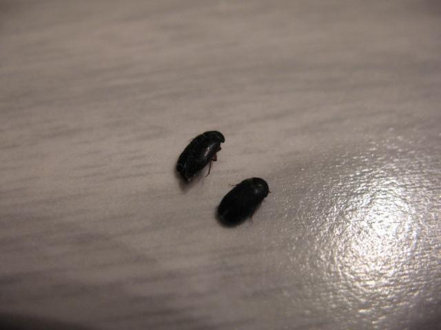 Small Black Bug With Wings In Bedroom Memsaheb Net. little black bugs in bedroom   memsaheb net