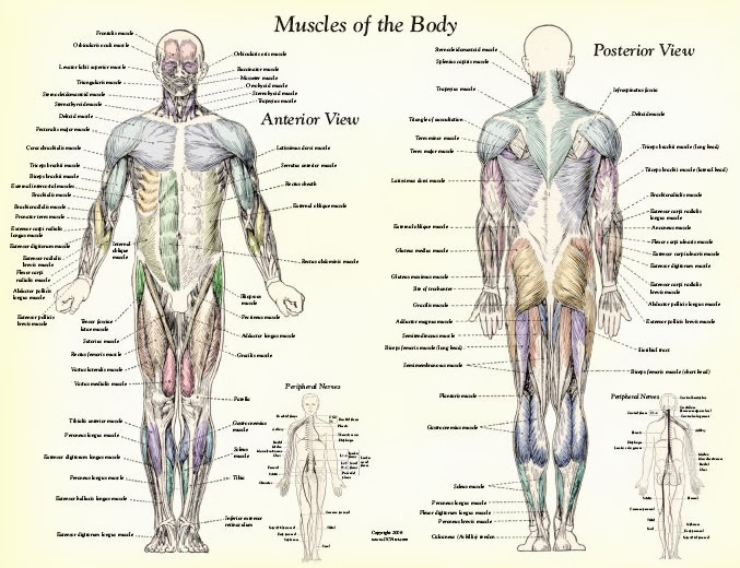 human muscles diagram labeled front and back light ray worksheets muscle anatomy body : 4 | biological science picture ...