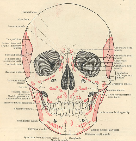 muscles of face diagram