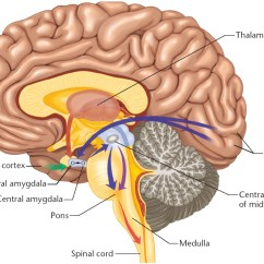 The Anatomy Of Anxiety Diagram Er Many To Human Brain Parts 5 7