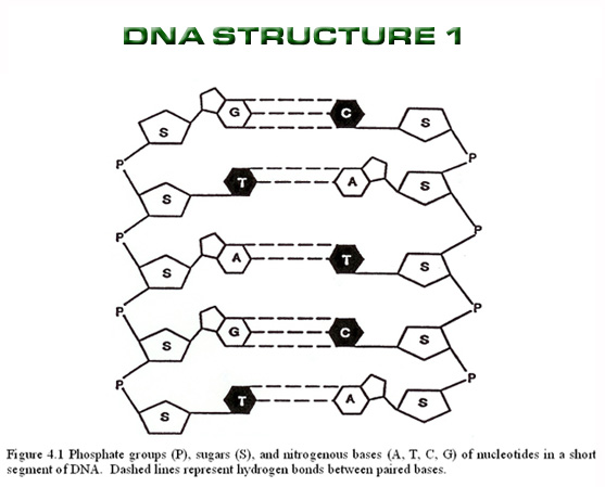 introduction dna structure dna : Biological Science