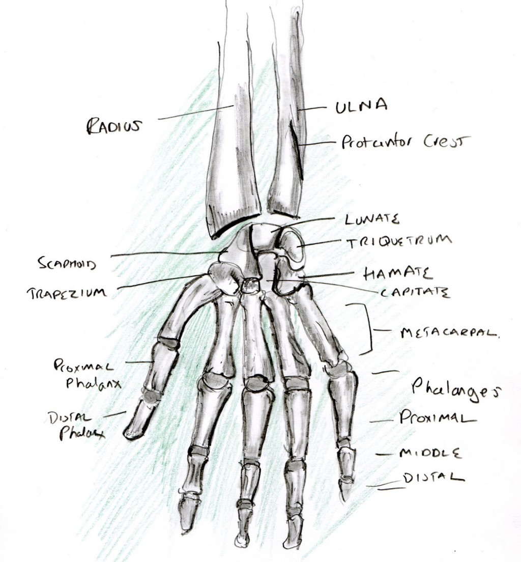 human hand skeleton diagram sony xplod cdx gt300mp wiring learning a 4