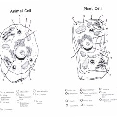 Simple Cell Diagram Worksheet Blank Plant And Animal Coloring Fun