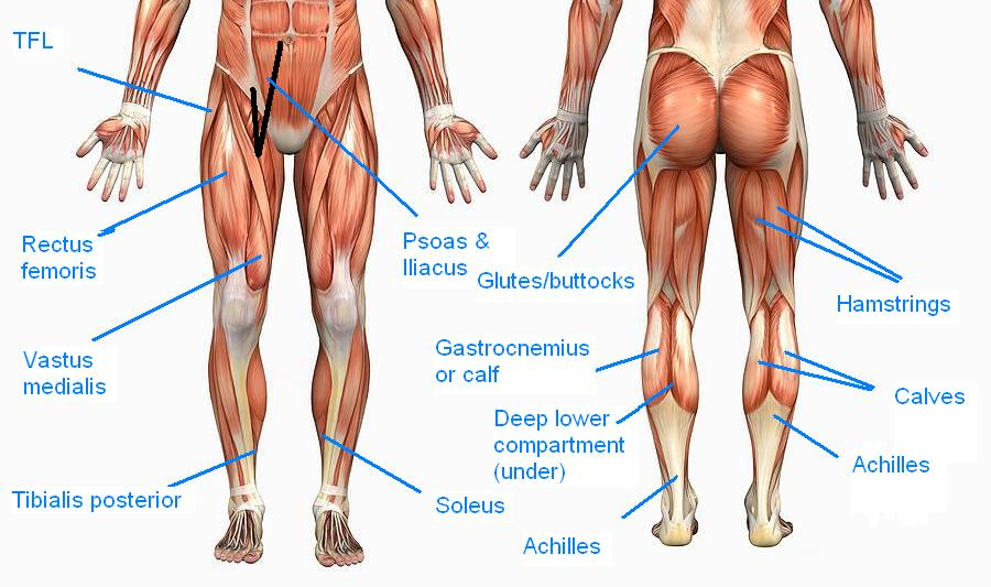 Different Glute Muscles