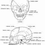 Human Skeletal System : 6 Skeletal System Study Guide