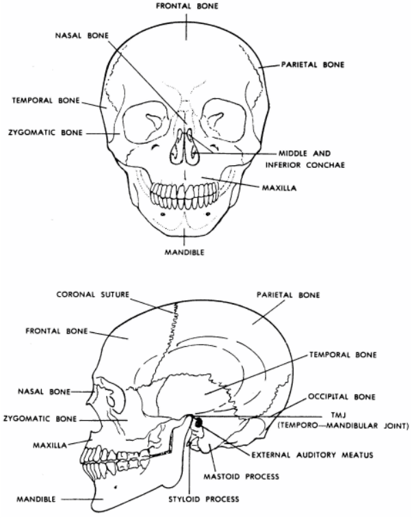 Human Skeletal System : Biological Science Picture