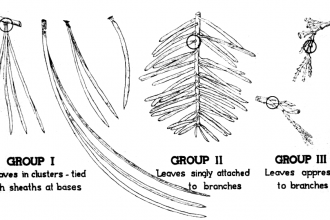 pine tree identification guide : Biological Science