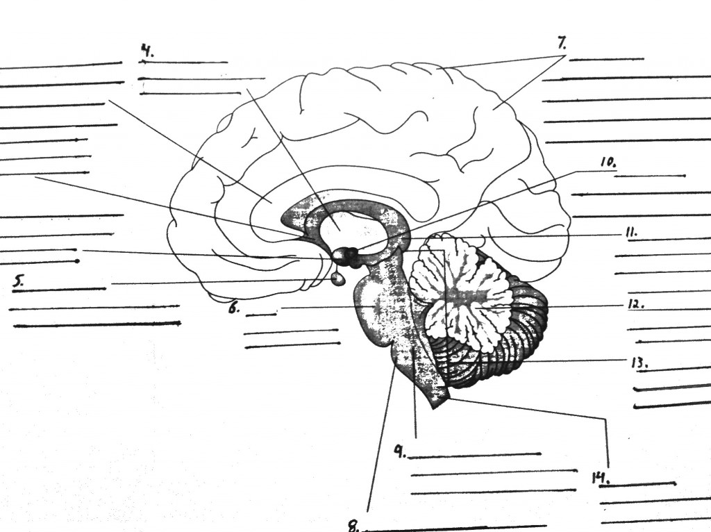 Parts of the Brain Diagram quiz : Biological Science