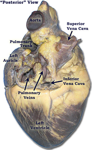 Diagram Cow Heart Dissection Labeled Fetal Pig Dissection In Animal