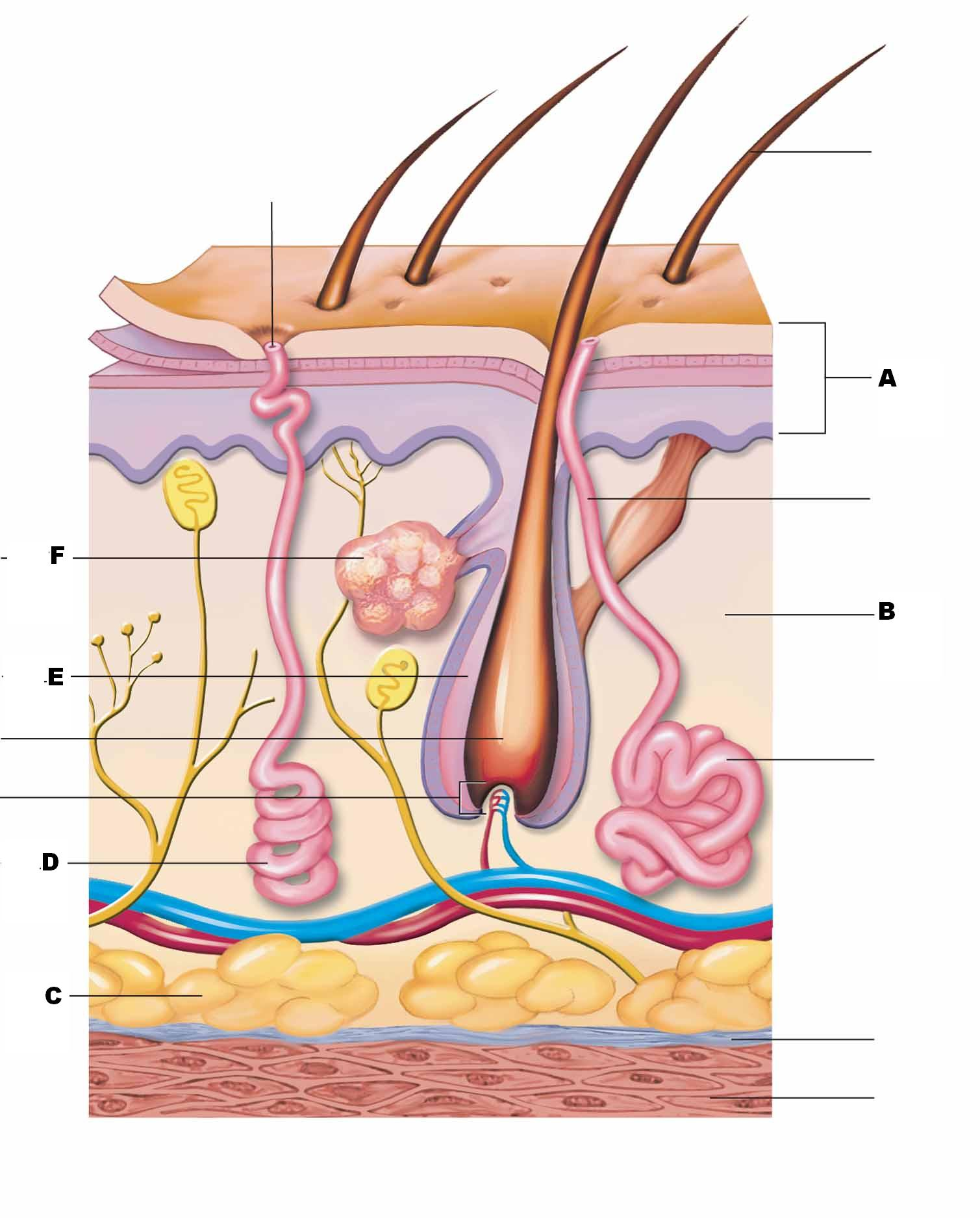 human skin diagram unlabeled kicker comp wiring the structure labeled in question 4 of
