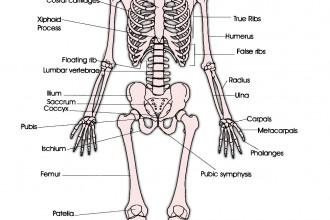 anterior skeleton worksheet : Biological Science Picture