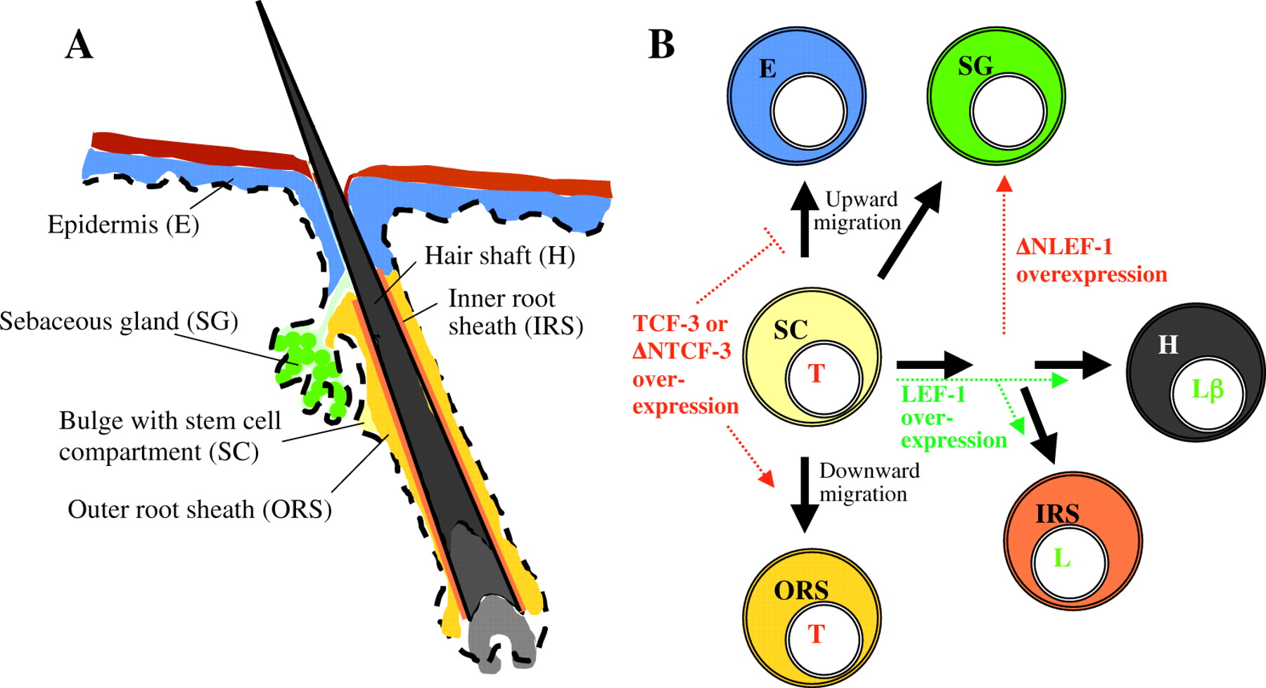 Hair Structure And Tissues Biological Science Picture Directory Pulpbits
