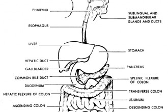 digestive tract : Biological Science Picture Directory