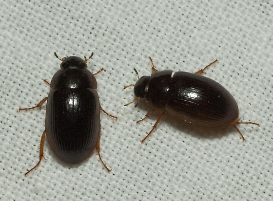 6 small black beetle like bugs : Biological Science ...