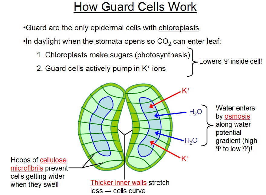 mesophyll cell diagram how chocolate is made plant guard great installation of wiring stomata structure cells 6 in leaves root hair