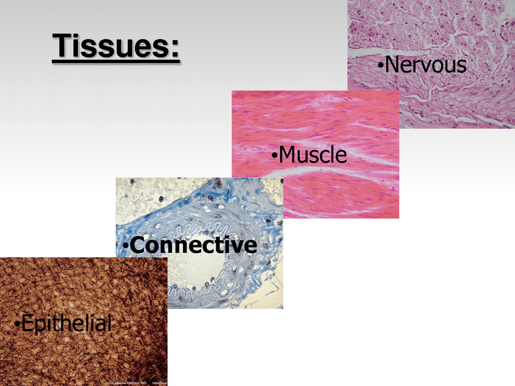 Tissue In The Human Body Types 7 Tissue Pictures In The
