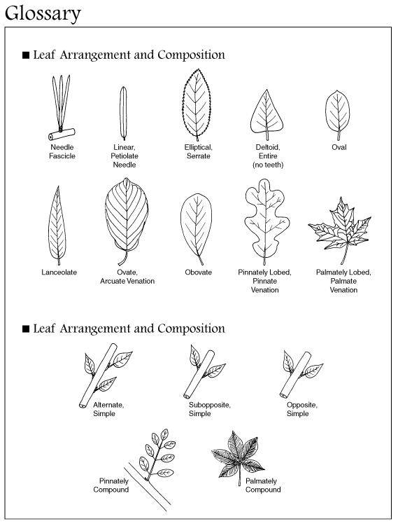 tree leaves identification : Biological Science Picture