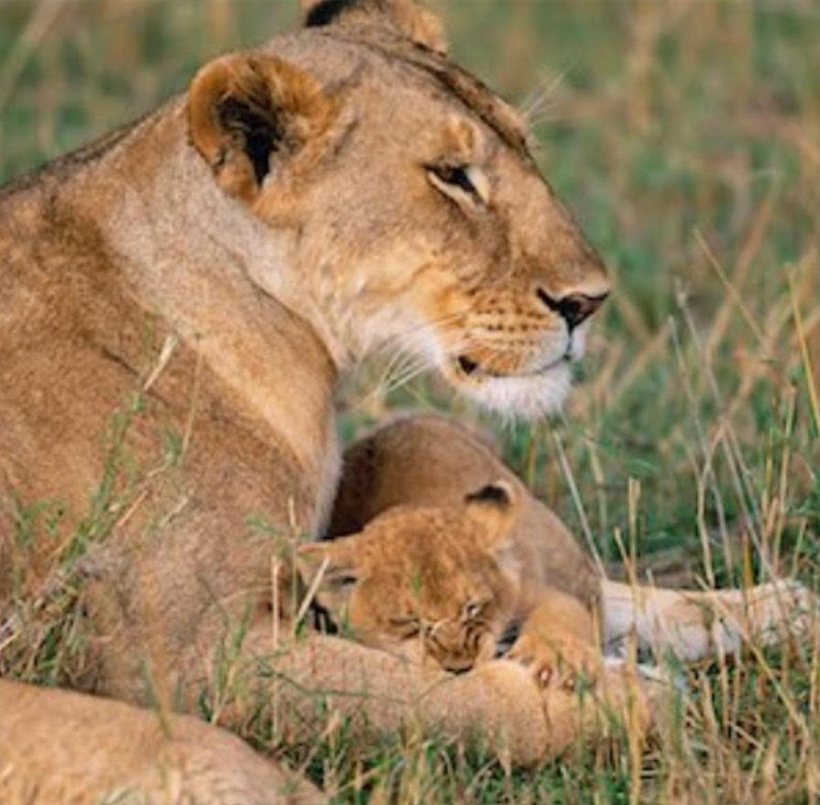 The Huffington Post is Horrified When a Lioness Kills Her Own Babies
