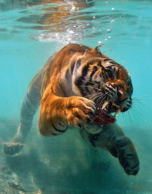 THIS IS PROBABLY THE MOST FEARED TIGER EVER, NOT EVEN SAFE IN WATER AGAINST THIS GUY.