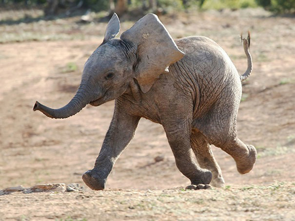 Baby elephants generate happiness.